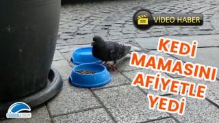 Çanakkale'de şaşırtan görüntü: Acıkan güvercin, kedi mamasıyla karnını doyurdu
