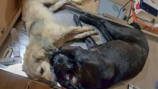 Biga'da vahşet: 19 sokak köpeğini zehirleyip öldürdüler!