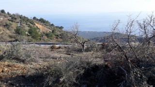 Ayvacık Belediyesi zeytin katliamına soruşturma başlattı